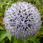 Echinops bannaticus 'Taplow Blue' - Kogeldistel - Echinops bannaticus 'Taplow Blue'