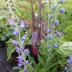 Echium vulgare - Slangenkruid - Echium vulgare