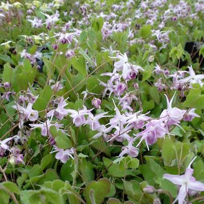 Epimedium grandiflorum 'Akebono' -