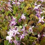 Epimedium grandiflorum 'Lilafee' - Elfenbloem - Epimedium grandiflorum 'Lilafee'