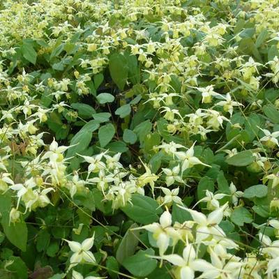 Epimedium 'Flowers of Sulphur' -