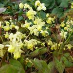 Elfenbloem - Epimedium pinnatum 'Black Sea'