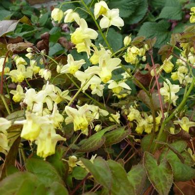 Epimedium pinnatum 'Black Sea' -
