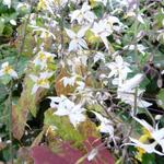 Epimedium stellulatum 'Wudang Star' - Elfenbloem - Epimedium stellulatum 'Wudang Star'