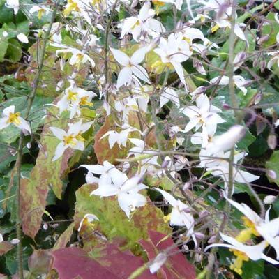Epimedium stellulatum 'Wudang Star' -