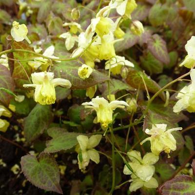 Epimedium x versicolor 'Sulphureum' -