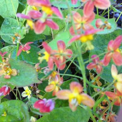 Epimedium warleyense -