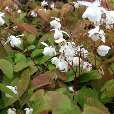 Epimedium x youngianum 'Niveum' - Elfenbloem - Epimedium x youngianum 'Niveum'