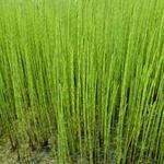 Equisetum fluviatile - Holpijp - Equisetum fluviatile