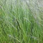 Eragrostis curvula - Liefdesgras - Eragrostis curvula