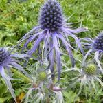 Kruisdistel - Eryngium bourgatii 'Pen Blue'