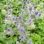 Eryngium planum 'Blue Hobbit' - Kruisdistel - Eryngium planum 'Blue Hobbit'