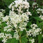 Eupatorium maculatum 'Album' - Leverkruid, Koninginnekruid - Eupatorium maculatum 'Album'