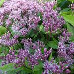 Eupatorium maculatum 'Purple Bush' - Koninginnenkruid, Leverkruid - Eupatorium maculatum 'Purple Bush'