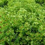 Euphorbia amygdaloides 'Kolibri' - Euphorbia amygdaloides 'Kolibri' - Amandelwolfsmelk