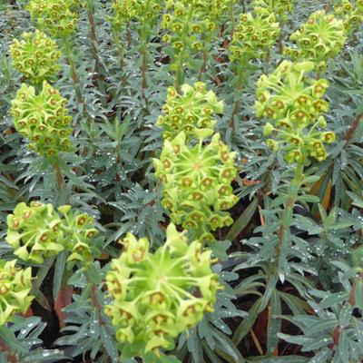 Euphorbia characias 'Blue Wonder'  -