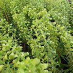 Euphorbia characias 'Forescate' - Wolfsmelk - Euphorbia characias 'Forescate'