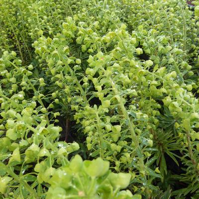 Euphorbia characias 'Forescate' -