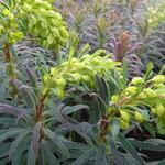 Euphorbia characias 'Purple and Gold' - Wolfsmelk - Euphorbia characias 'Purple and Gold'