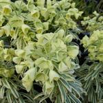 Euphorbia characias 'Tasmanian Tiger' - Wolfsmelk - Euphorbia characias 'Tasmanian Tiger'