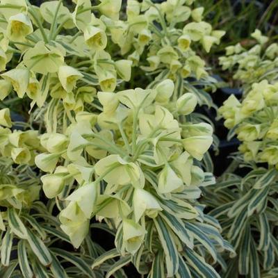 Euphorbia characias 'Tasmanian Tiger' -