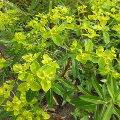 Euphorbia cornigera 'Goldener Turm' -