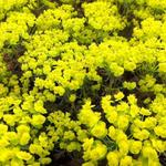 Euphorbia cyparissias   'Clarice Howard' - Cipreswolfsmelk - Euphorbia cyparissias   'Clarice Howard'