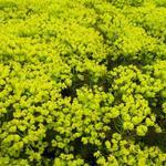 Euphorbia cyparissias 'Fens Ruby' - Wolfsmelk - Euphorbia cyparissias 'Fens Ruby'