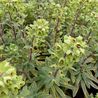 Euphorbia x martinii 'Ascot Rainbow' -