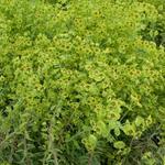Euphorbia 'Copton Ash' - Wolfsmelk - Euphorbia 'Copton Ash'