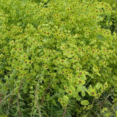 Euphorbia 'Copton Ash' -