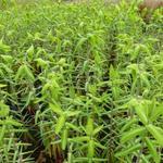 Euphorbia lathyris - Euphorbia lathyris - Mollenpant
