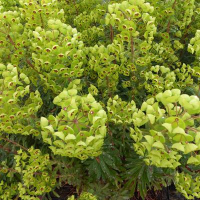 Euphorbia x martinii - Wolfsmelk - Euphorbia x martinii