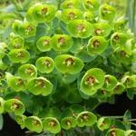 Euphorbia x  martiniii  'Baby Charm' - Wolfsmelk - Euphorbia x  martiniii  'Baby Charm'
