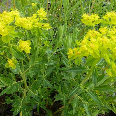 Euphorbia palustris -