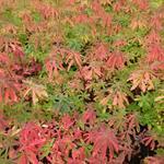 Euphorbia epithymoides 'Purpurea' - Wolfsmelk - Euphorbia epithymoides 'Purpurea'