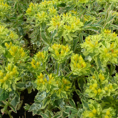 Euphorbia polychroma 'Variegata' -