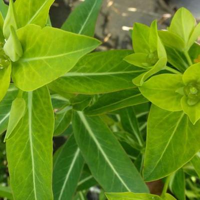 Euphorbia schillingii - Wolfsmelk - Euphorbia schillingii