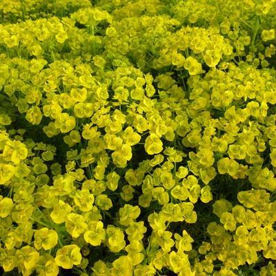 Euphorbia waldsteinii 'Betten' -