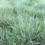 Festuca valesiaca 'Glaucantha' - Zwenkgras, Blauw Schapegras - Festuca valesiaca 'Glaucantha'