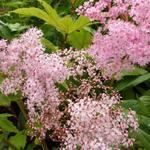 Moerasspirea - Filipendula rubra 'Venusta'