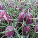 Kievitsbloem, Kievitseitjes - Fritillaria meleagris
