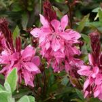 Gaura lindheimeri 'Crimson Butterflies' - Prachtkaars - Gaura lindheimeri 'Crimson Butterflies'
