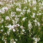 Gaura lindheimeri 'White Dove' - Prachtkaars - Gaura lindheimeri 'White Dove'