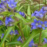 Gentiana dahurica - Siberische gentiaan, Aziatische gentiaan - Gentiana dahurica