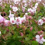 Geranium x cantabrigiense 'Biokovo' - Ooievaarsbek - Geranium x cantabrigiense 'Biokovo'