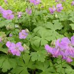 Ooievaarsbek - Geranium cantabrigiense 'Karmina'
