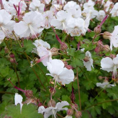 Geranium x cantabrigiense 'St Ola' - Ooievaarsbek - Geranium x cantabrigiense 'St Ola'