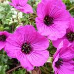 Ooievaarsbek - Geranium cinereum 'Giuseppii'
