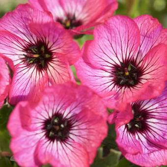 Geranium cinereum 'Jolly Jewel Hot Pink'